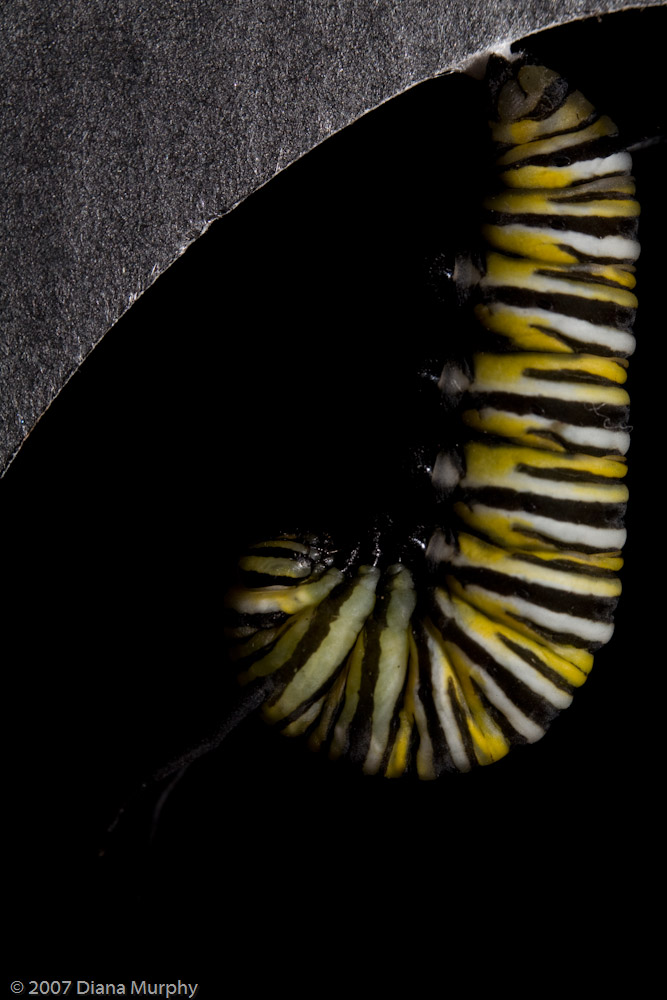 Chrysalis _5 of 14_